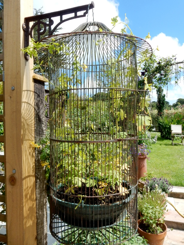 Canary Creeper in Mum's old bird cage