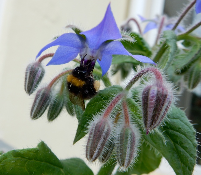 Bee on the Borage
