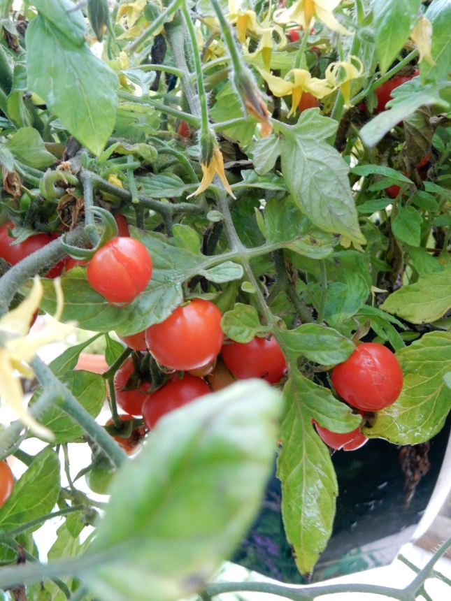 Hanging Cherry tomatoes
