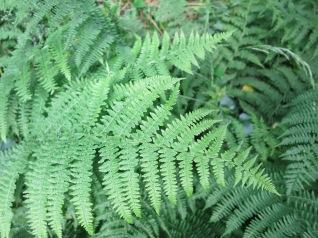 Ferns in St Uny Churchyard