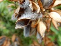 Gorse seed pod