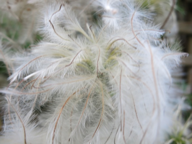 Clematis seed-head
