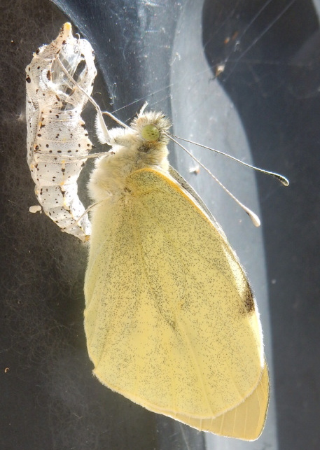 Newly emerged Cabbage White Butterfly