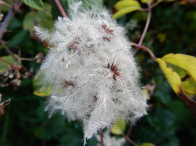 Old Man's Beard seed heads