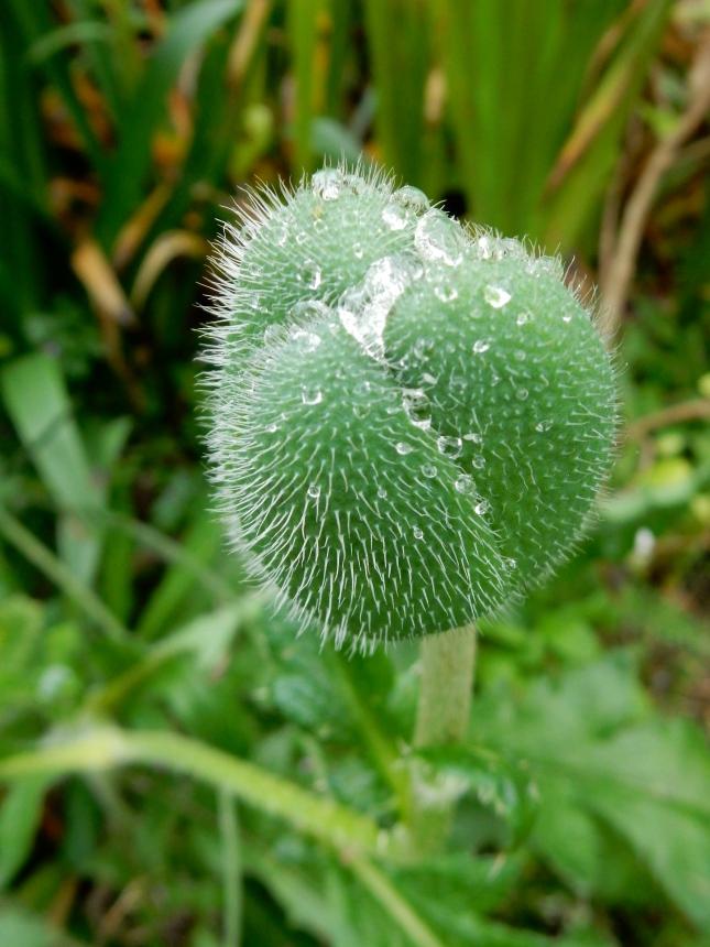 Poppy bud with raindrops