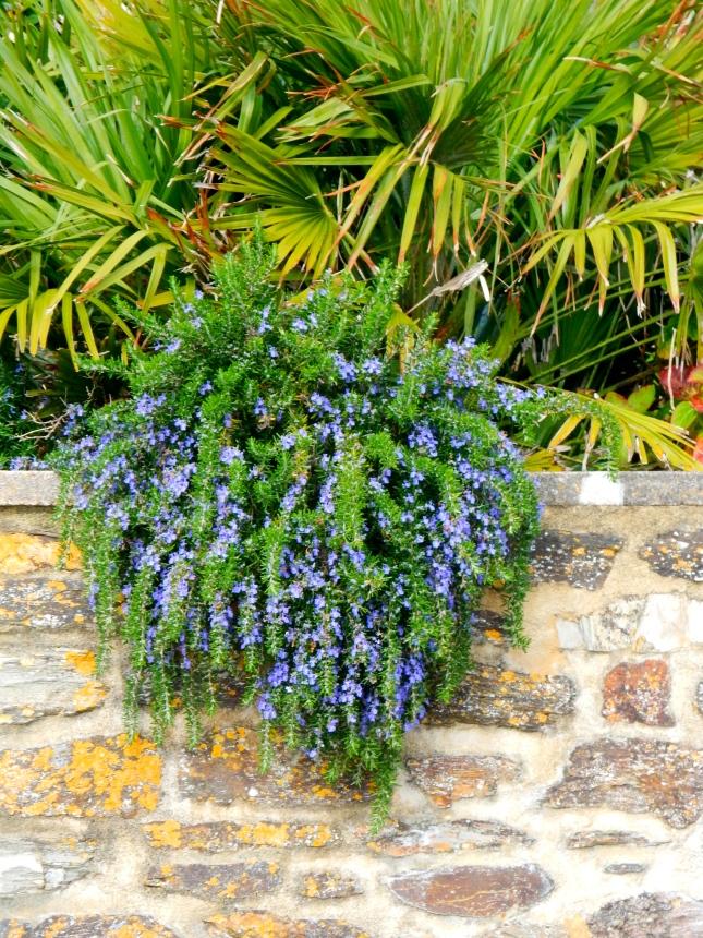 Rosemary in full bloom