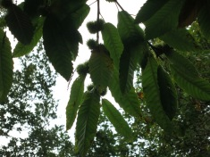 Horse chestnuts