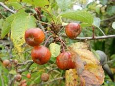 Tiny Crab apples