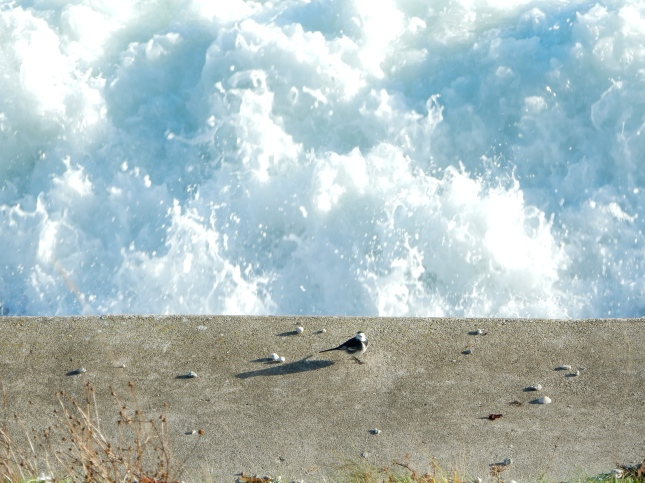 Pied Wagtail against the sea spray