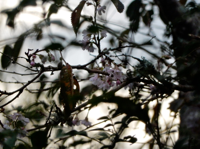 Winter Cherry blossoms
