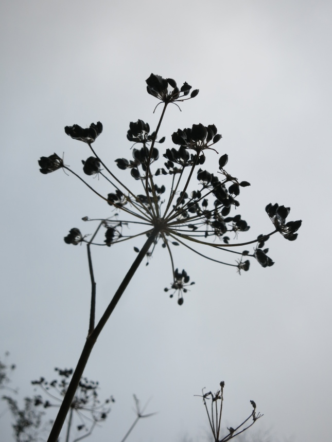 Fennel seed head