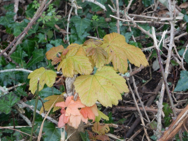 Sycamore new growth