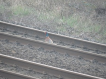 Pheasant on the line. He did move when the train came by!