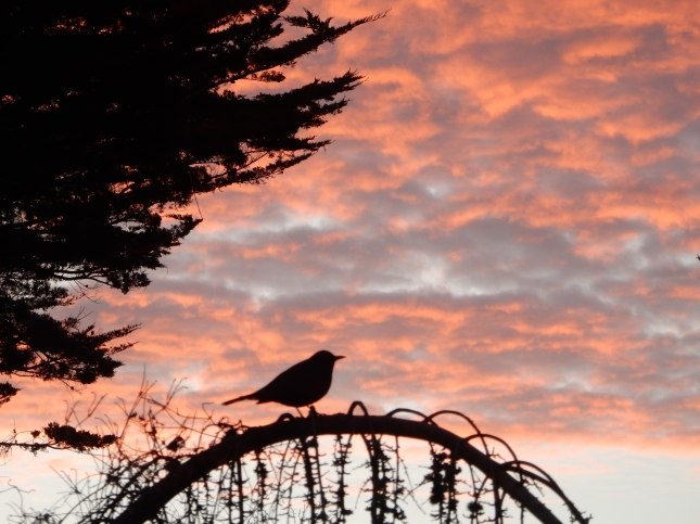 Blackbird at dawn