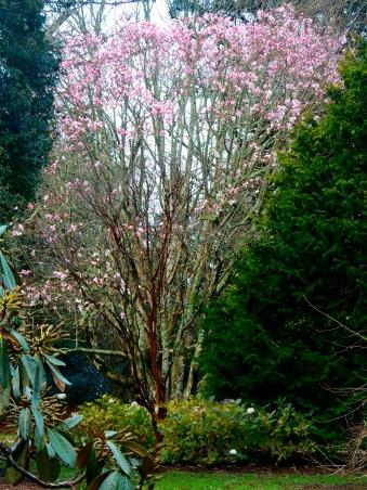 Enormous Magnolia
