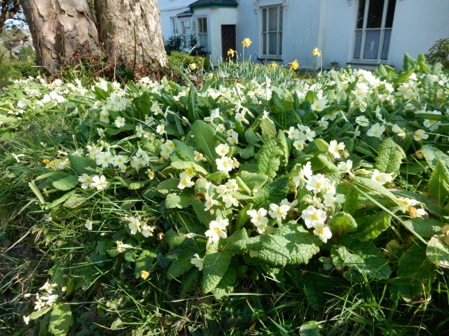 Primroses on a Cornish hedge