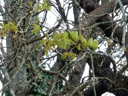 Chestnut tree beginning to leaf up