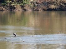 Cormorants on the pool