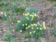 Daffodils on the Penrose Estate