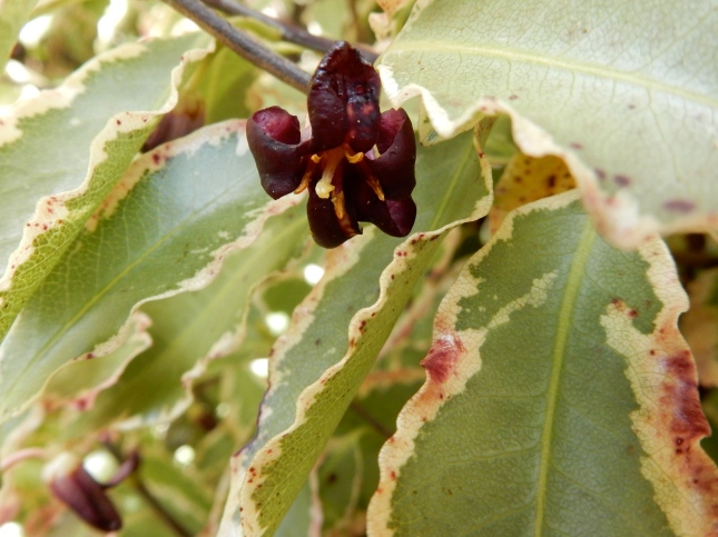 Pittosporum flower
