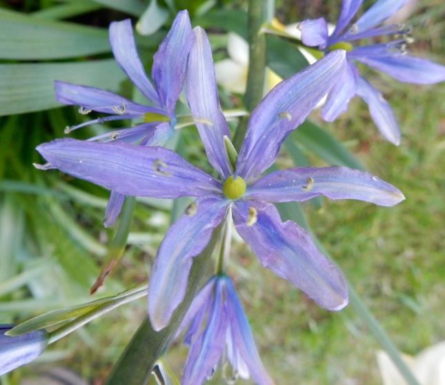 Camassia flower