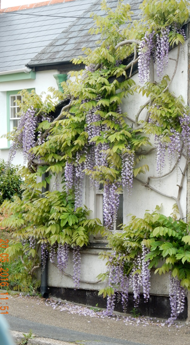 Wisteria in Chacewater