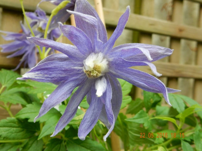 clematis macropetala maidwell hall