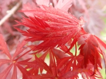 Acer, Ruby, bright new leaves