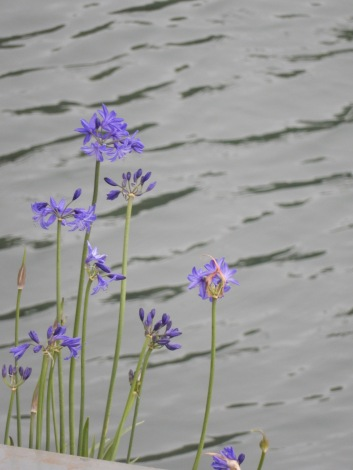 Agapanthus being grown on a boat on the Penryn River