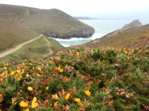 Gorse at Chapelporth