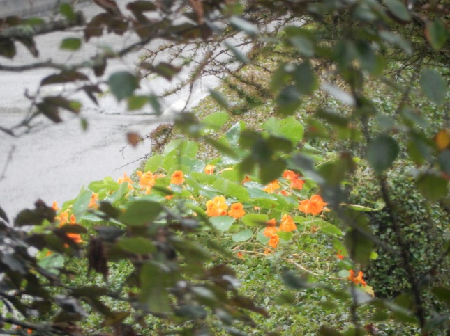 Nasturtiums taken from our bedroom window
