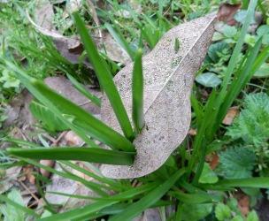 Bluebell leaves growing through a skeleton leaf