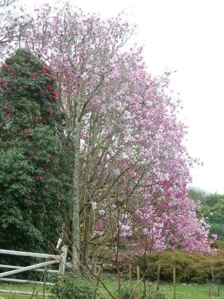 Huge Magnolia tree
