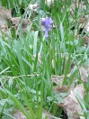 First Bluebell, only one I spotted
