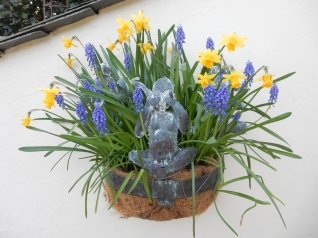 Three Wise Monkeys as the Tete a Tete fade and the Muscari come into bloom