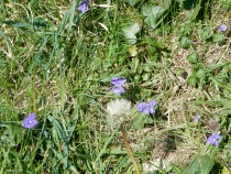 Cornish Violets