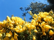 Gorse and sky
