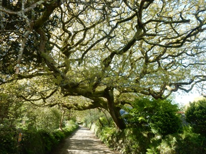 Magnificent Oak tree near start of the walk