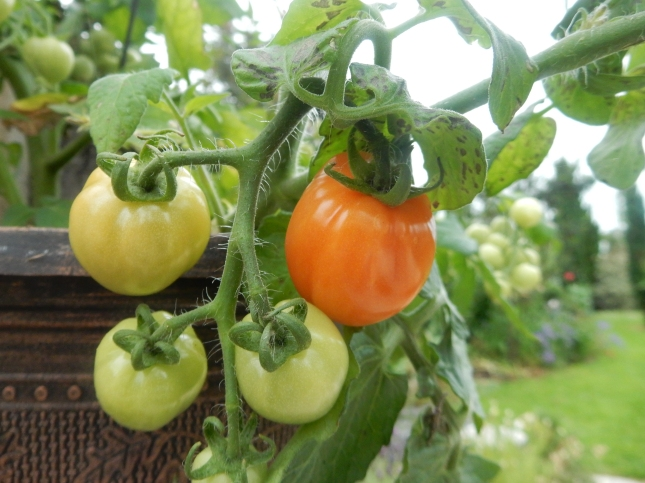 Ripening baby tomatoes