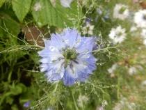 Blue Nigella