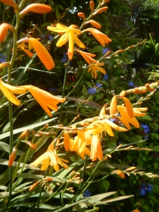 Crocosmia D'Or