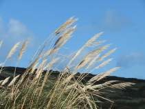 Pampas grass in the wind