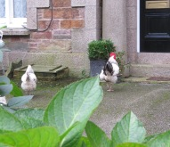 Chickens on West End