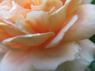 Di's rose still blooming