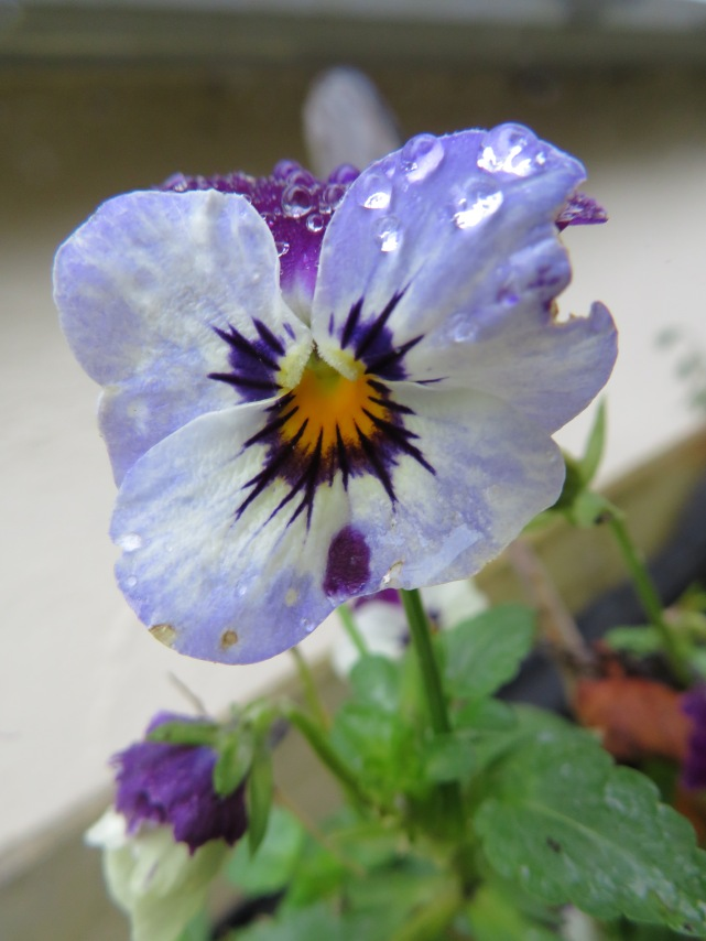 Pansy with raindrops