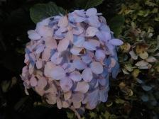Hydrangea blossom