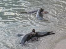 Seals playing