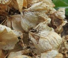 Skeleton Hydrangea flowers