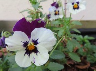 Pansies in the edible garden