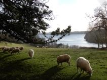 Sheep and Carrick Roads